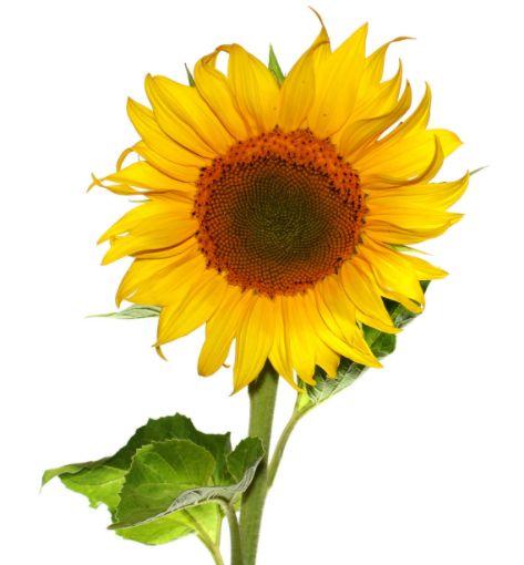 Sunflower protein manufacturer Sunflower kernels nutrition